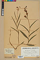 Neuchâtel Herbarium - Cephalanthera rubra - NEU000046830.jpg