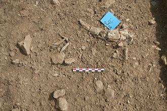 Epipalaeolithic - Gazelle horn exposed at Neve David on Mount Carmel, Israel