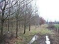 New planting at Old Covert - geograph.org.uk - 1691291.jpg