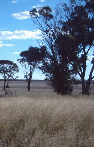 Western Mallee - A typical Western Mallee landscape, showing an area predominantly cleared for intensive agriculture, with only a few Eucalyptus trees remaining.