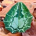 Nieuw blad van Cyclamen hederifolium tussen herfstbladeren. 23-11-2020 (d.j.b.) 04.jpg
