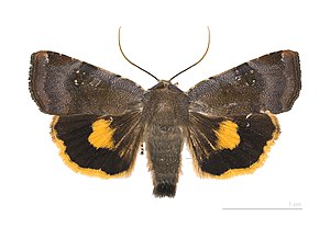 Lesser broad-bordered yellow underwing -  Noctua janthina