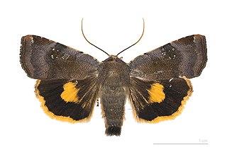Noctuina Subtribe of moths