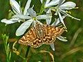 Noctuidae - Euclidia mi (8302319193).jpg