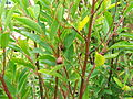 Noltea africana Soap bush South Africa 2.JPG