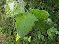 Noordwijk - Coepelduyn - Grauwe abeel (Populus x canescens).jpg