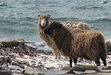 220px North ron sheep - Islands in the snow: book review