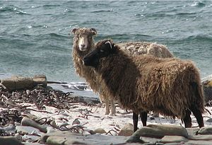 North Ronaldsay sheep - Two sheep on the shoreline of North Ronaldsay
