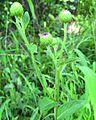 Nothovernonia purpurea - habitat.jpg