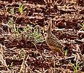 Nothura maculosa -Dourados, Mato Grosso do Sul, Brazil-8.jpg