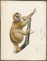 Nycticebus tardigradus - 1818-1842 - Print - Iconographia Zoologica - Special Collections University of Amsterdam - UBA01 IZ19700120.tif