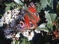 Nymphalidae - Aglais io - 4.jpg