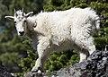 ODFW goat.JPG