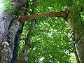 O ciudăţenie a naturii in drumul către Peştera Scărişoara. - panoramio.jpg