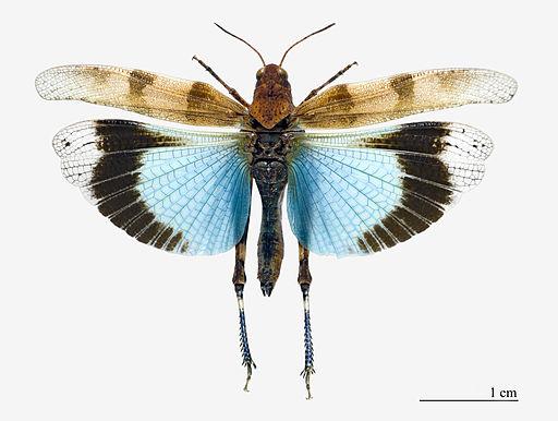 Oedipoda caerulescens MHNT