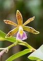 Oerstedella medinae (Orchidaceae) (32096479721) - cropped-1.jpg