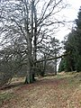 Old drover's road, beech trees and pine - geograph.org.uk - 726752.jpg