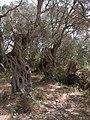 Olea europaea Grove Wardija Ridge Malta 06.jpg