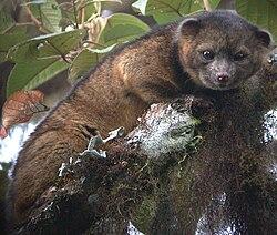 Un olinguito, dans son milieu naturel, en Équateur