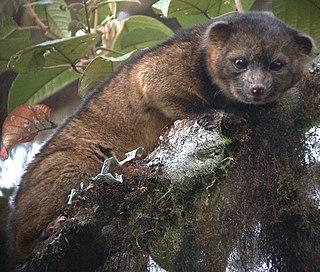 Olinguito species of procyonid