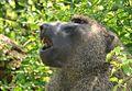 Olive Baboon, Uganda (15070066113).jpg