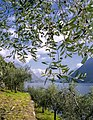 Olivenkultur am Luganersee bei Gandria.jpg