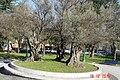 Olivos centenarios. Parque de la Marga. Santander.Cantabria. Spain.Europe - panoramio.jpg