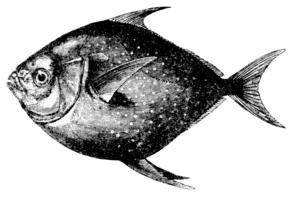 Gotteslachs (Lampris guttatus)