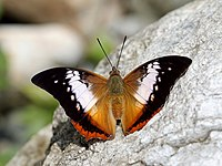 Open wing position of Charaxes bernardus Fabricius, 1793 – Tawny Rajah (2).jpg