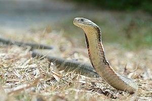 King cobra - King cobra in Kaeng Krachan National Park