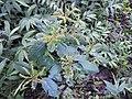 Ophiorrhiza mungos-1-sengaltheri-kalakkadu-tirunelveli-India.jpg