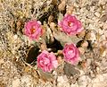 Opuntia basilaris bloom at the Nevada Test Site 5.jpg