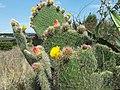 Opuntia huajuapensis.jpg