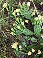 Opuntia mesacantha mesacantha.jpg