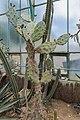 Opuntia quimilo - 20150525 13h22 (10202).jpg