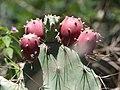 Opuntia striata var. dillenii-1-keylaiyur-yercaud-salem-India.jpg