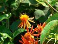 Orange-Flowered Groundsel (433815045).jpg