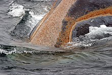 A colony of orange whale lice growing around a right whale's mouth