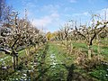 Orchard at Loddington Farm - geograph.org.uk - 772725.jpg