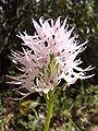 Orchis italica.007 - Serra de Enciña de Lastra.JPG