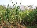 Organic sugar cane.JPG