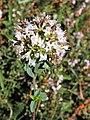 Origanum vulgare subsp. virens. Oriéganu.jpg