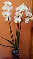 Orquidea Blanca.jpg