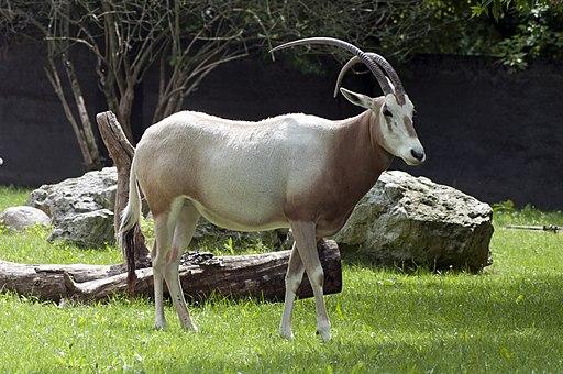 Oryx dammah 2
