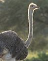 Ostrich (Common Ostrich), Struthio camelus at Marakele National Park, South Africa (14154943741).jpg
