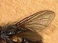 Oswaldia muscaria (41435425061).jpg