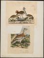 Otis tarda - 1700-1880 - Print - Iconographia Zoologica - Special Collections University of Amsterdam - UBA01 IZ17200001.tif