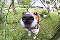 Our friend beagle Richard (2601514288).jpg