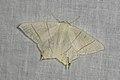 Ourapteryx sambucaria (35640572972).jpg