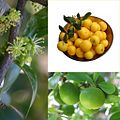 Owoce Umkokolo.jpg